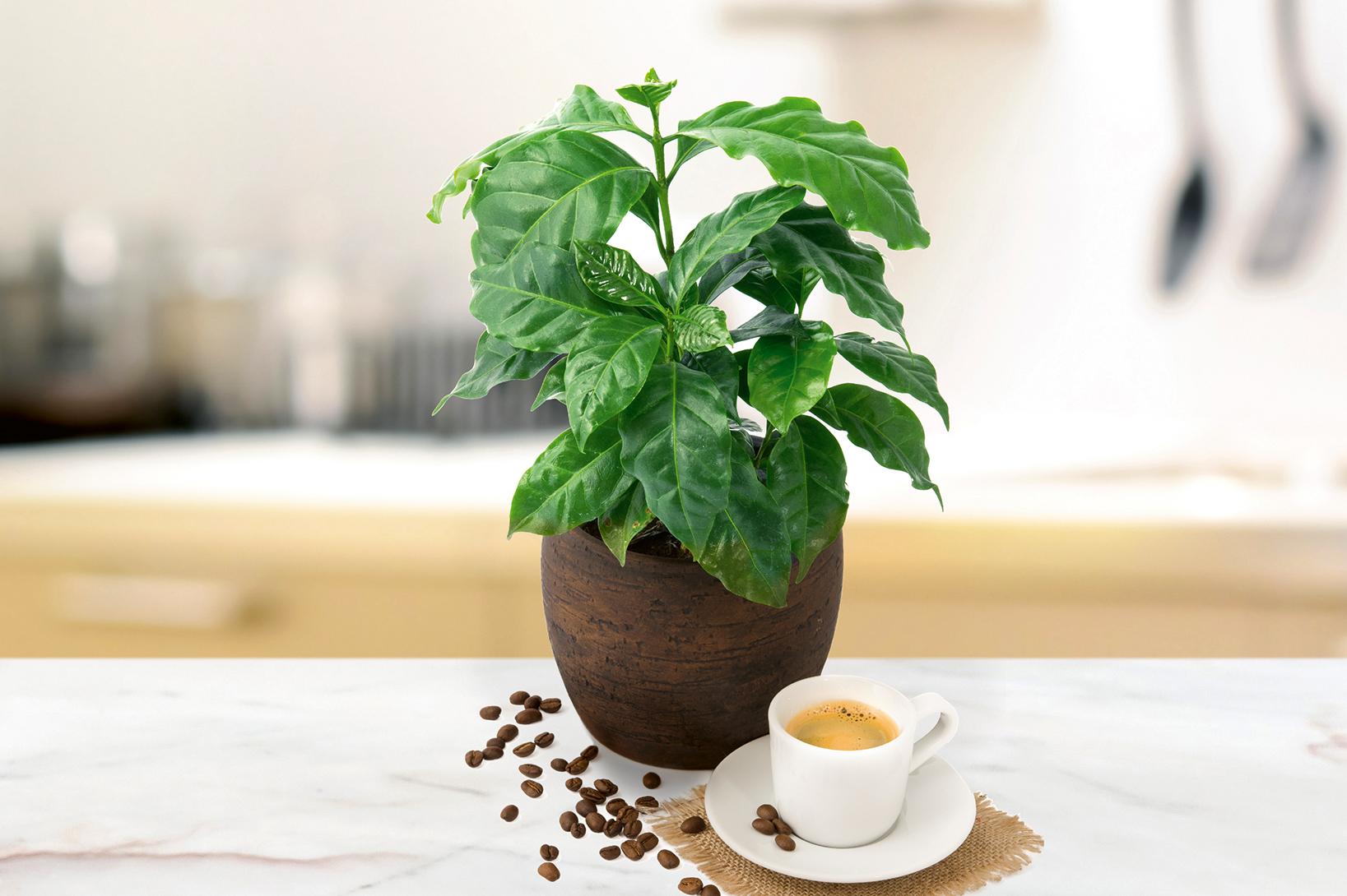 Amazonia Set: Arecapalme, Elefantenfuß, Kaffeepflanze und Paradiesvogelblume
